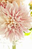 Pink Dahlia I Impressão fotográfica por Karyn Millet