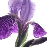 Purple Iris IV Reproduction photographique par Monika Burkhart