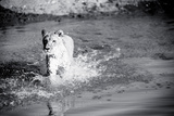 Lioness in Water Reproduction photographique par Beth Wold