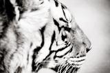 Tiger Opspændt lærredstryk af Beth Wold