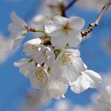 Apple Blossoms II Reproduction photographique par Monika Burkhart