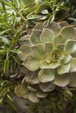 Succulent IV Impressão fotográfica por Karyn Millet