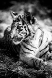 Tiger Cub III Reproduction photographique par Beth Wold