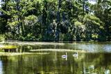 Swans I Impressão fotográfica por Alan Hausenflock