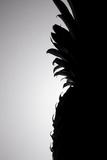 Pineapple Silhouette Reproduction photographique par Monika Burkhart