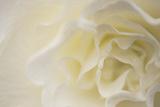 Soft White Begonia II Impressão fotográfica por Rita Crane