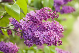 Lilac Photographic Print by Karyn Millet