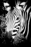 Zebra III Reproduction photographique par Beth Wold