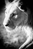 Male Lion II Reproduction photographique par Beth Wold