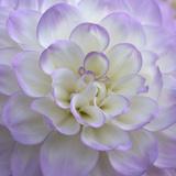 Lavender Dahlia VI Impressão fotográfica por Rita Crane