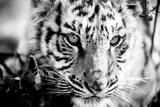 Tiger Cub I Fotografisk tryk af Beth Wold