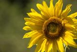 Sunflower and Bee II Impressão fotográfica por Rita Crane