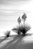 Yucca at White Sands II Fotografie-Druck von Douglas Taylor