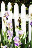Iris on a Fence Stampa fotografica di Alan Hausenflock