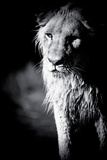 Lioness in Water II Reproduction photographique par Beth Wold