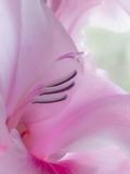 Gladiola Blossom I Photographic Print by Kathy Mahan