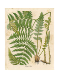 Botanical Ferns II Posters by N. Harbick