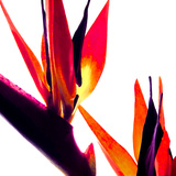 Bird of Paradise VI Reproduction photographique par Monika Burkhart