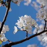 Apple Blossoms I Reproduction photographique par Monika Burkhart