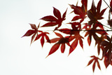 Japanese Maple II Reproduction photographique par Beth Wold