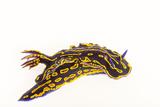 A Regal Goddess Nudibranch, Felimare Picta. Fotografie-Druck von Joel Sartore