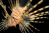 A Red Lionfish, Pterois Volitans, at Pure Aquariums. Photographic Print by Joel Sartore