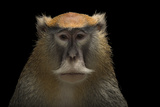 A Patas Monkey, Erythrocebus Patas, at the Houston Zoo. Fotografisk tryk af Joel Sartore