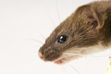 A Short-Tailed Weasel, Mustela Erminea. Fotografie-Druck von Joel Sartore