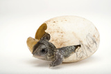 An Endangered Aquatic Box Turtle, Terrapene Coahuila, Hatches from His Egg. Fotografisk tryk af Joel Sartore