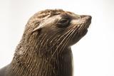 An Afro Australian Fur Seal, Arctocephalus Pusillus, at the Faunia Zoo. Stampa fotografica di Sartore, Joel