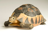 A South African Bowsprit Tortoise, Chersina Angulata, at Detroit Zoo. Photographic Print by Joel Sartore