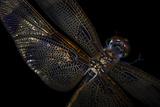 A Halloween Pennant Dragonfly, Celithemis Eponina. Fotografisk tryk af Joel Sartore