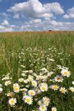 Schleswig-Holstein, Field with Camomile Blossoms Valokuvavedos tekijänä Catharina Lux