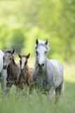 Connemara Pony, Mare with Foal, Belt, Head-On, Running, Looking at Camera Fotografie-Druck von David & Micha Sheldon