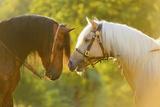 Connemara Pony, Portrait, Stallions, Side View Fotografie-Druck von David & Micha Sheldon