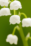 Lilies, Convallaria Majalis, Detail, Blooms, Series, Plant, Flowers, Lily-Plants, May-Flower, Prime Photographic Print by Herbert Kehrer