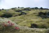 Lava Field, Moss, Iceland Reproduction photographique par Julia Wellner