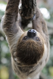 2 Finger Sloth, Choloepus Didactylus, Branch, Hang, Climb Headlong Lámina fotográfica por Ronald Wittek