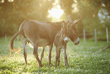 Donkey, Equus Asinus Asinus, Mother and Foal, Meadow, Is Lying Laterally Fotografisk tryk af David & Micha Sheldon
