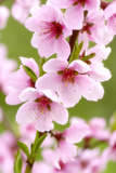 Peach-Tree, Branch, Detail, Blooms, Pink Photographic Print by Herbert Kehrer