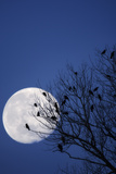 Birds, Crows, Silhouette, at Night, Moon Photographic Print by Herbert Kehrer