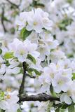 Apple Blossom, Medium Close-Up, Apple-Tree, Tree, Spring Photographic Print by Herbert Kehrer