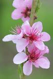 Peach-Tree, Fork, Blossoms, Detail Photographic Print by Herbert Kehrer