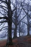 Trees, Black Poplars, Late Autumn Photographic Print by Herbert Kehrer