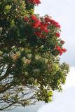 New Zealand, North Island, Pohutukawa, Ironwood Tree Photographic Print by Catharina Lux