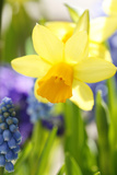 Narcissus, Daffodil, Grape Hyacinth Photographic Print by Sweet Ink