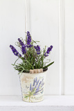 Lavender, Blossoms, Smell, Rivererpot Photographic Print by Andrea Haase