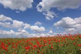 Schleswig-Holstein, Field with Poppies Valokuvavedos tekijänä Catharina Lux