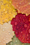 Autumn Leaves, Drops of Water, Close-Up Photographic Print by Rainer Mirau