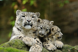 Snow Leopards, Uncia Uncia, Mother with Young Animals Photographic Print by David & Micha Sheldon